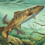 Amazing Brown Trout Painting Drawing