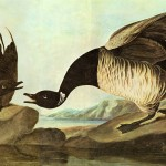 Audubon Brant Giclee Art Reproduction Stretched Canvas