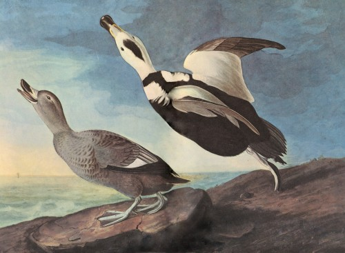 Audubon Labrador Duck Giclee Art Reproduction Stretched Canvas