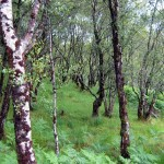 Birch Forest Reference For Artists