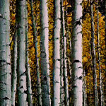 Birch Tree Stand Painting Flickr Sharing