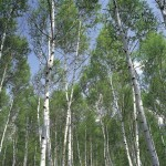 Birch Trees Are Known For Their White Bark