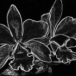 Black And White Abstract Digital Art Orchids