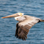 Brown Pelican Flying Graph Fine Art Print