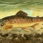 Brown Trout Painting Sean Seal Fine Art Prints And