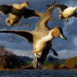 Duck Stamp Painting Pintail Ducks