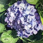 Hydrangea Painting Linda Hoover Fine Art Prints And