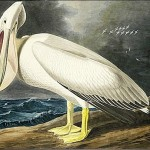 James Audubon John American White Pelican Painting
