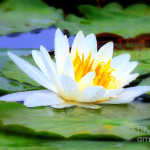 Lily Digital Painting Graph Water