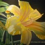 Lily Paintings Don Berger Click Any Image Left View