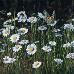Painting Daisy Afternoon Shirley Reade Paintings Daisies And