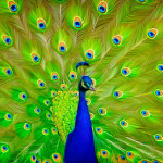 Peacock Painting Flickr Sharing