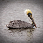 Pelican Graph Lance Webre Fine Art Prints And