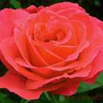 Roses Graphs Free Rose Images Beautiful Red Gifts