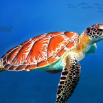 Sea Turtle Digital Painting For Manon Views Flickr