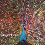 Vivid Peacock Paintings For Sale Famous Hpc