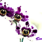 Watercolor Orchids Gallery Flickr