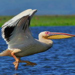 White Pelican Graph Tony Beck Great Fine Art