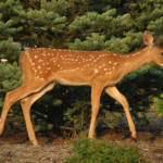 Whitetail Deer Paintings For Web Search