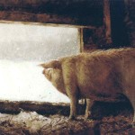 Winter Pig Jamie Wyeth Wikipaintings