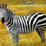 Zebra Painting Canvas Water Color