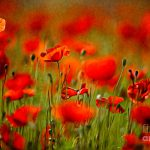 Flowers Fields Poppy Red Landscapes Nature