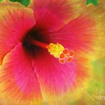 Hibiscus Flower Mixed Media Hawaiian Fine Art Print