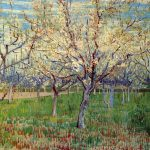 Orchard Blossoming Apricot Trees