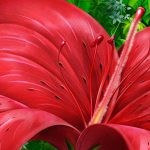 Red Flower Painting Free