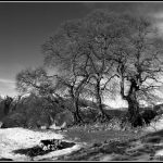 The Famous Beeches Black And White Welshglue