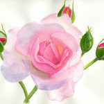 Pink Rose Painting Becky