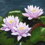 Pink Water Lilies Oil Painting Canvas Elena