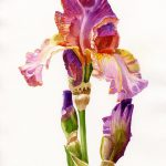 Purple Orange Iris Painting Sharon