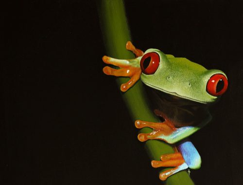 Red Eyed Tree Frog Painting Soro