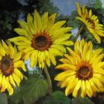 Yellow Sunflowers Oil Painting Original Canvas