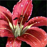After Rain Realistic Floral Lily Flower Painting Apple