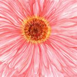 A Daisy Watercolor Painting Original Pink